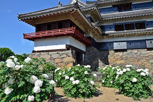 小笠原ぼたん   松本城伝説